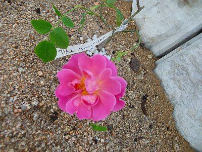 初めて・・・バラの花が咲きました!