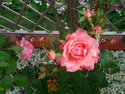 「バラの樹木葬」オープンに向けてヽ(^。^)ノ