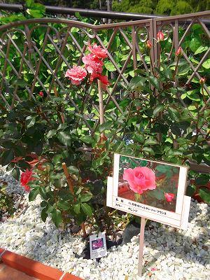バラの品種